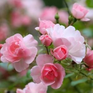 Aromamasáž - ruža